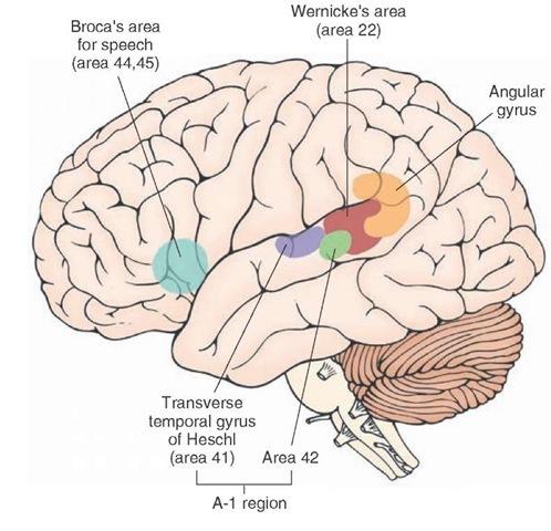 Fig.1. Enkele van de in dit hoofdstuk besproken hersengebieden. De in de figuur aangegeven nummers betreffen een classificatiesysteem ontworpen door Korbinian Brodmann in 1908.